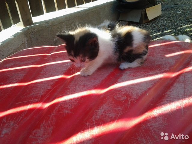 AVITO.ru - Отдам котят в добрые руки в Краснодаре.