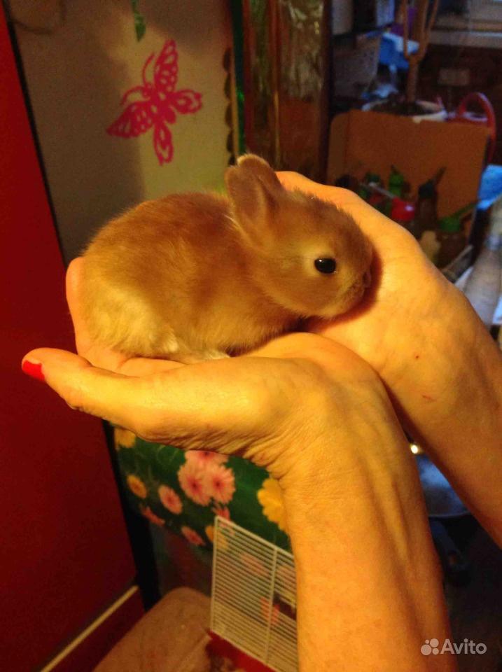 Карликовые декоративные кролики от заводчика в Москве - фотография № 8
