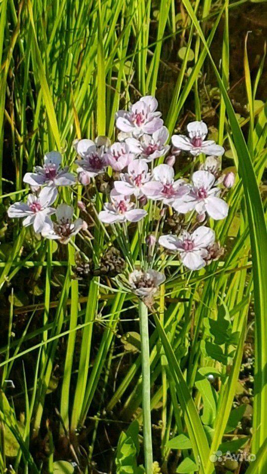 Растения для пруда купить на Зозу.ру - фотография № 3