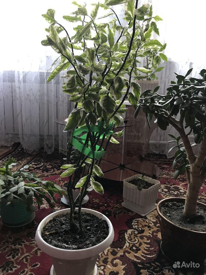 Растения для дома и офиса.цена договорная купить на Зозу.ру - фотография № 3