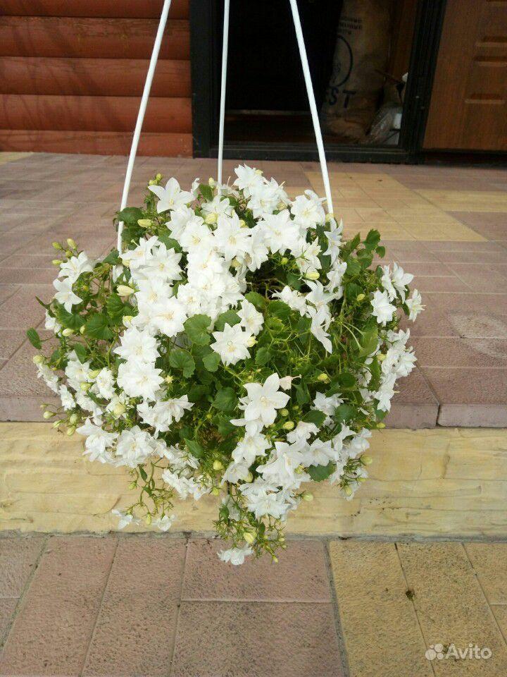 Кампанула. Жених и невеста купить на Зозу.ру - фотография № 9