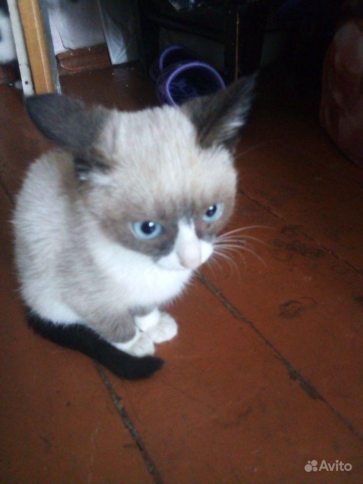 Котёнок сиамский