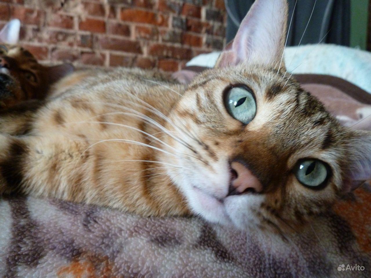 Бенгальские котята - фотография № 8