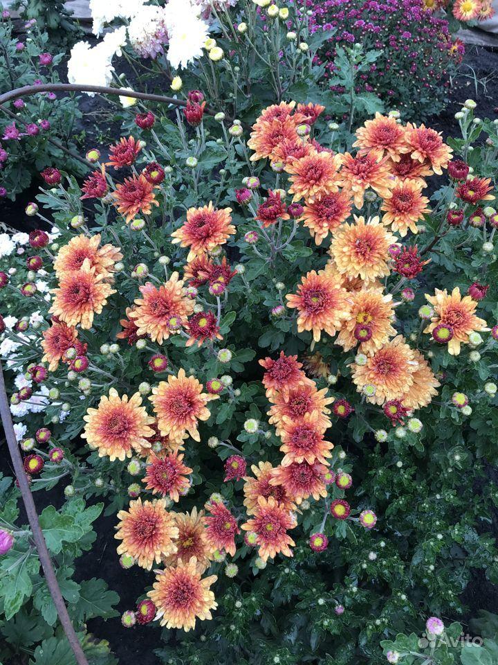 Хризантемы купить на Зозу.ру - фотография № 5