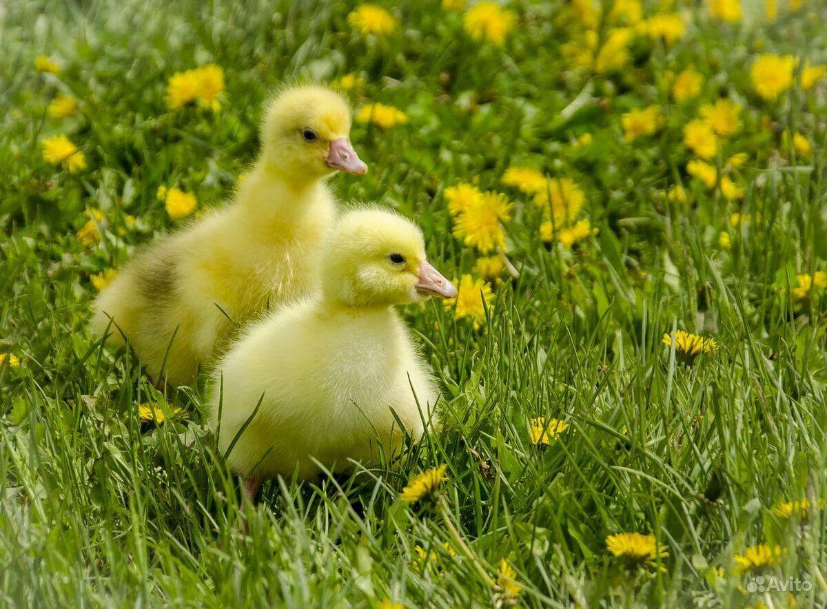 днём картинки цыплят утят гусят индюшат кончатся