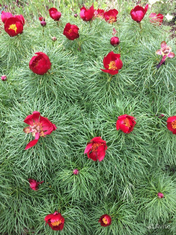 Многолетние растения и цветы купить на Зозу.ру - фотография № 6