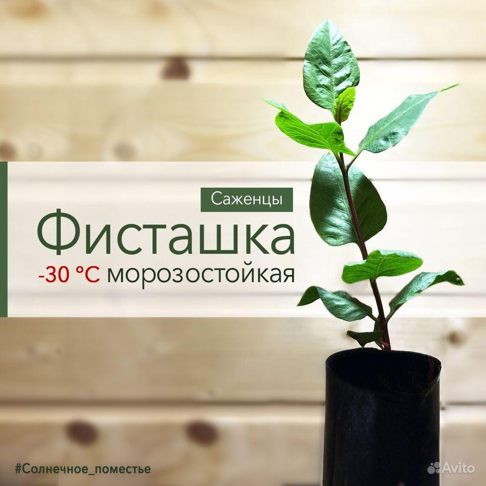 Фисташка саженцы (морозостойкость до -30C) купить на Зозу.ру - фотография № 1
