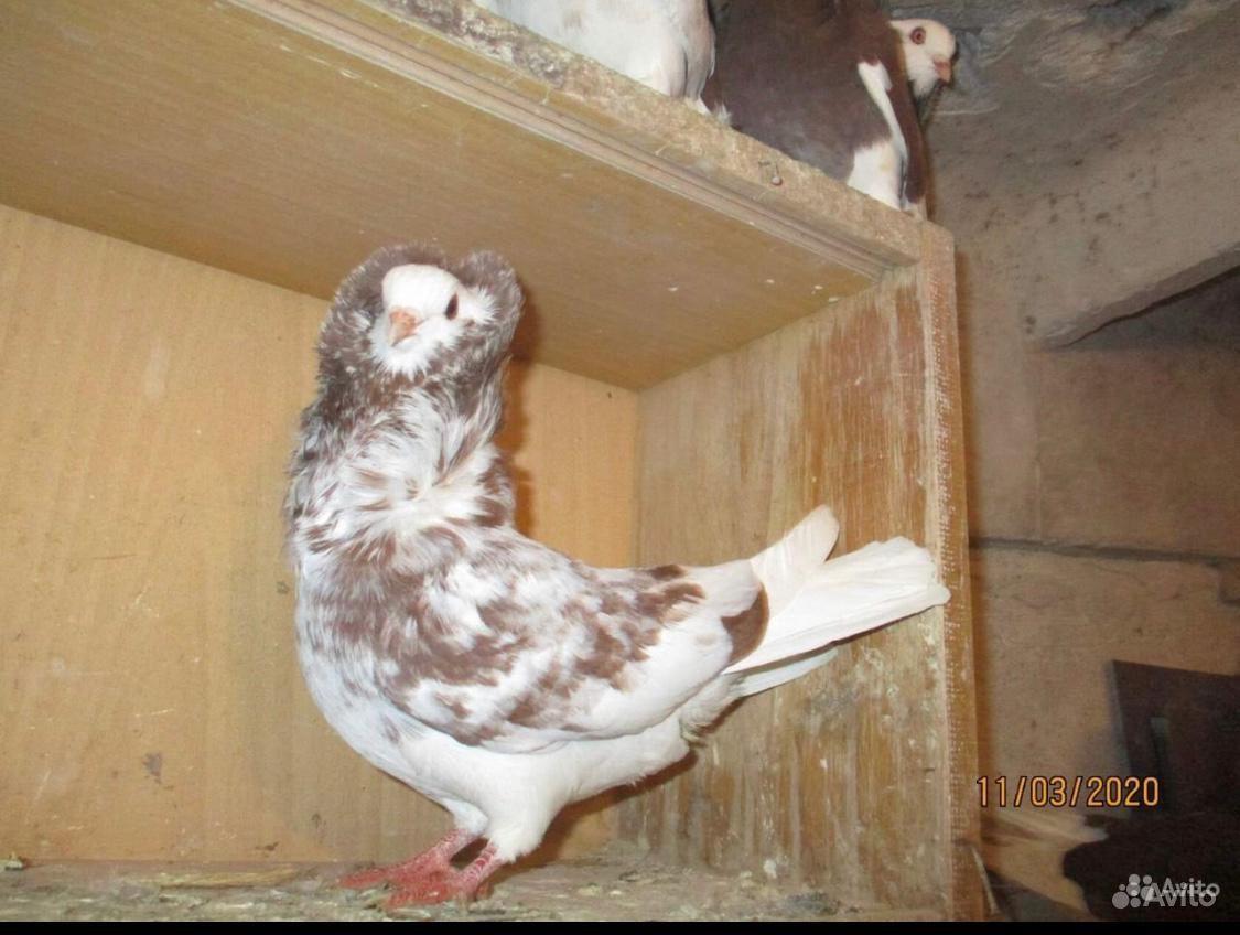 Голубь капуцини купить на Зозу.ру - фотография № 4