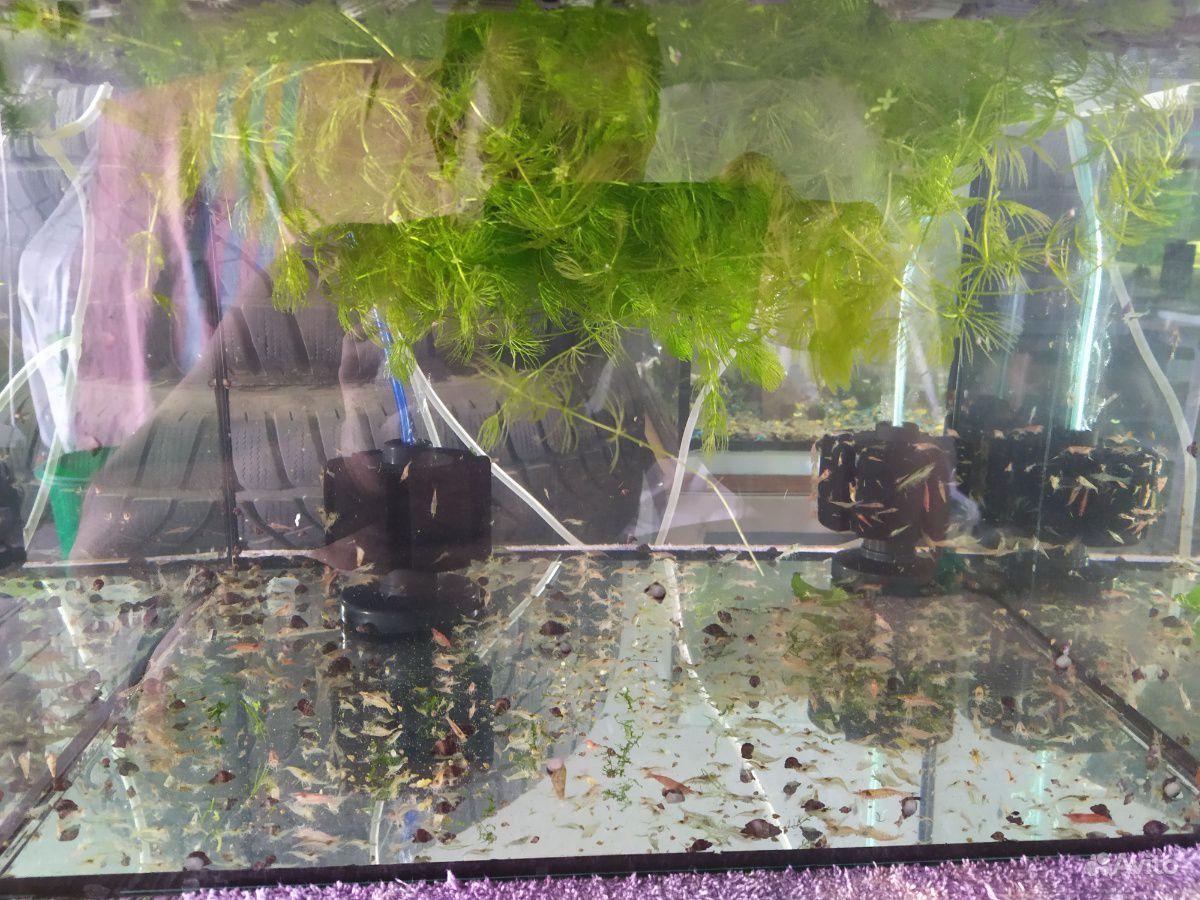 Креветка вишня неокордина купить на Зозу.ру - фотография № 1