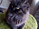 Котенок персидский