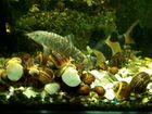 Улитки ампулярии.рыбки.растения