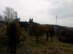 Лошадь кобыла