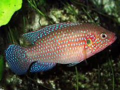 Рыбки хромис красавец