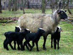 Овцы, бараны, ягнята