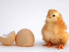 Продам яйцо инкубационное