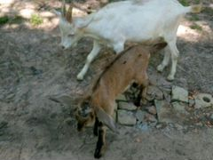 Козлики зааненский и нубийский 4 мес
