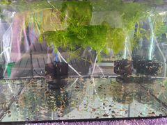 Креветка вишня неокордина
