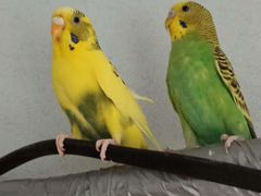 Пара попугаев