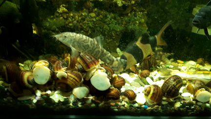 Улитки ампулярии.рыбки.растения объявление продам