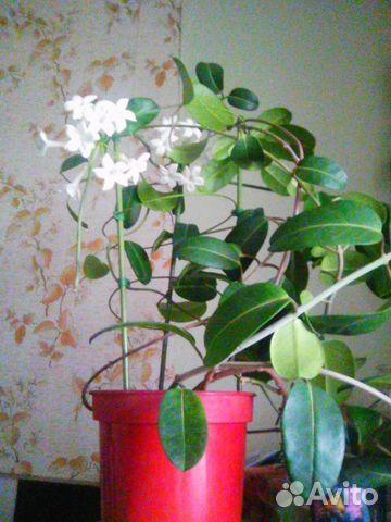 Цветы комнатные купить на авито москва