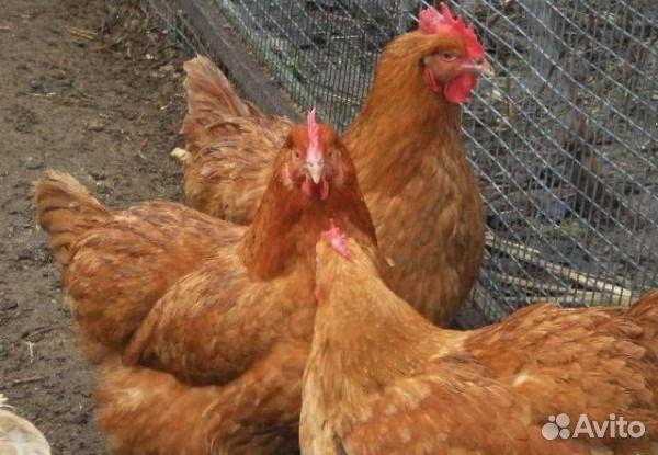 Где купить домашнюю курицу в москве