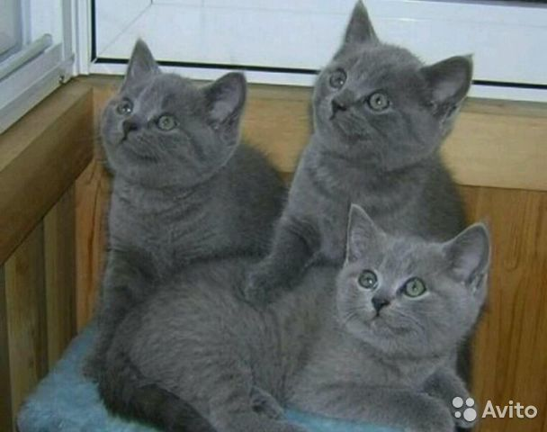 британские котята серые фото
