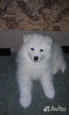 Продаются щенки Самоеда купить на Зозу.ру - фотография № 6