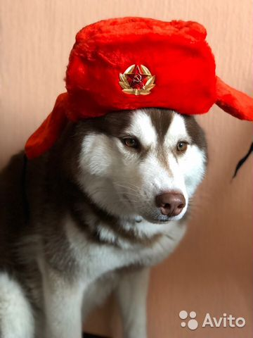 Сибирский хаски вязка купить 1