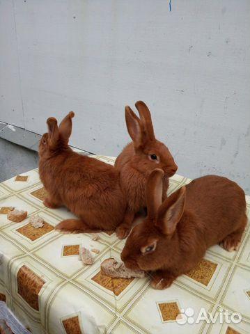 Племенные кролики 89065705365 купить 7