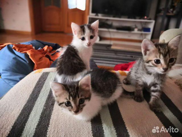 Отдам в добрые руки трех котят, к лотку приученные