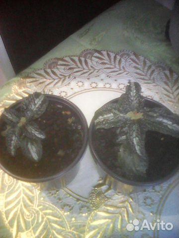 Колеус- экзотика в вашем доме, пилея 89130730125 купить 9