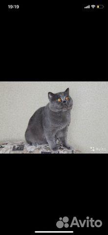 Продам шотландских котят 89787428602 купить 5