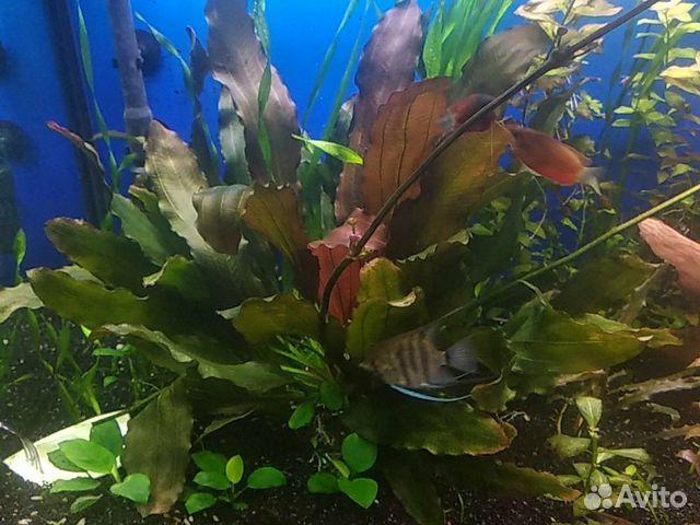 Аквариумное растение Эхинодорус синусоид