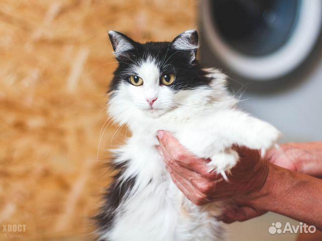 Великолепная кошка Аврора, 2 года  купить 4