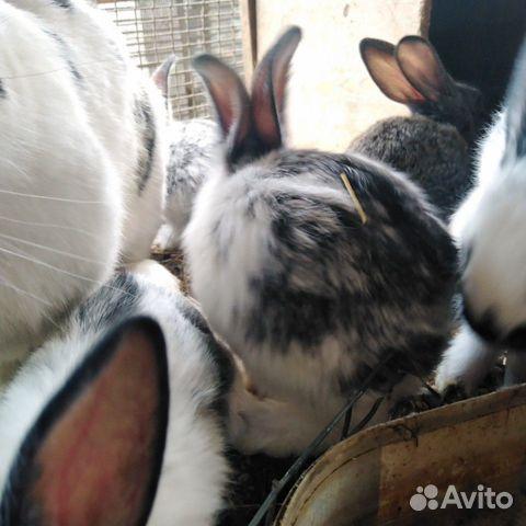 Кролики  89095041049 купить 4