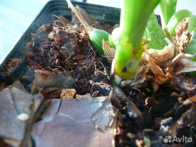 Орхидея зигопеталум (зигонизия)  купить 8
