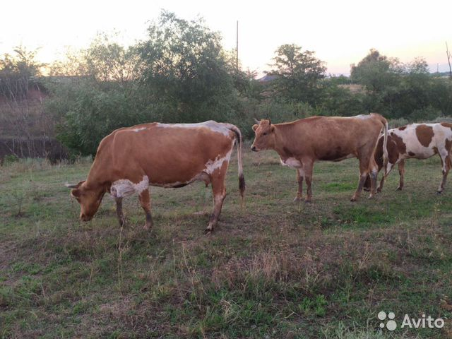 Корова  89227232727 купить 4
