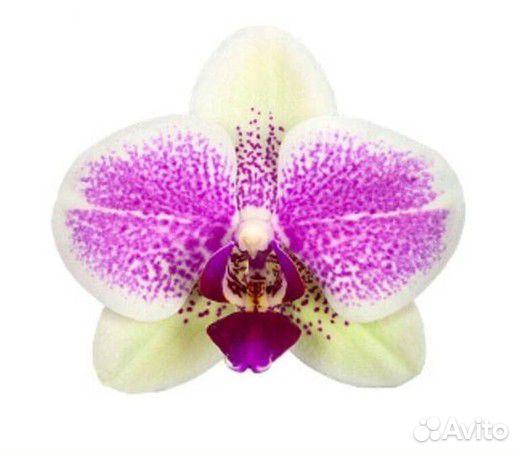 Орхидеи  89091710609 купить 3