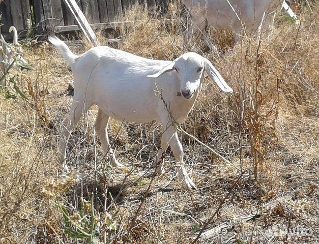 Коза 47 нубийская