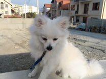 Элитный щенок шпиц — Собаки в Геленджике