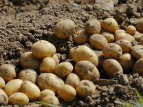 Картофель на рассаду