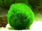 Аквариумный мох кладофора (для креветок)