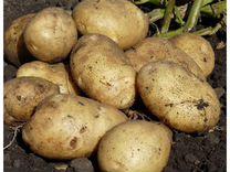 Картофель деревеский