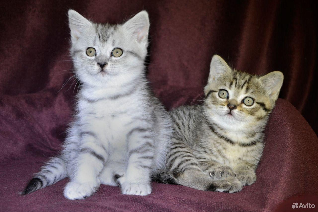 Шотландские котята  89532795051 купить 1