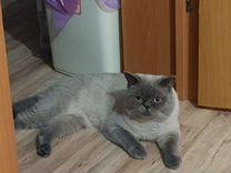 Кот шотландец приглашает на вязку — Кошки в Геленджике