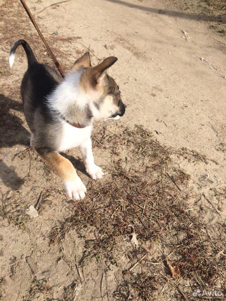 Собака  89176730162 купить 4