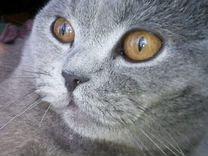 Вязка.Британский кот