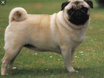 Щенки мопса — Собаки в Геленджике