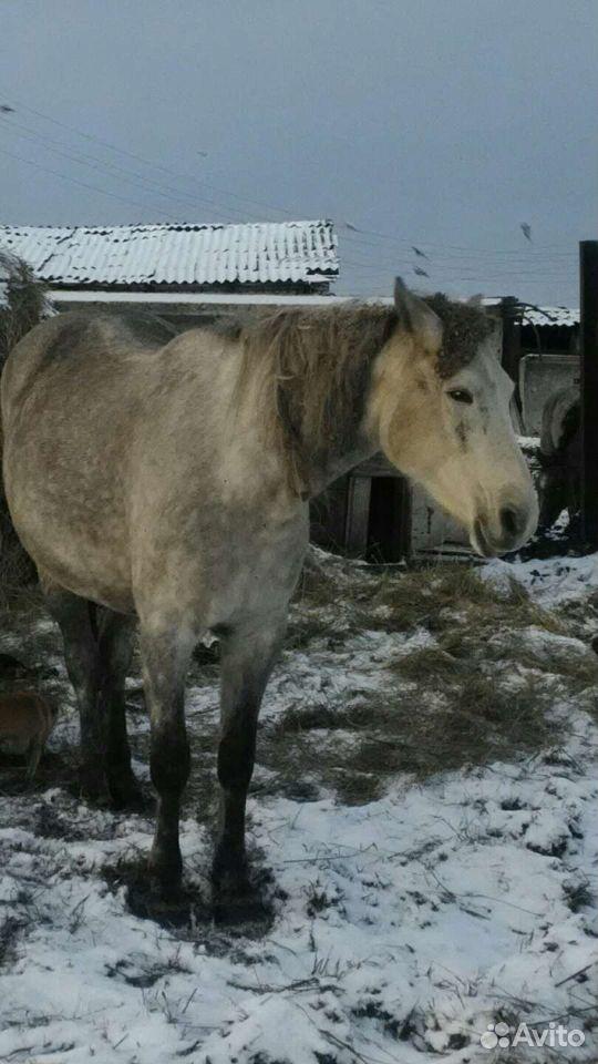 Лошадь  89502701546 купить 1