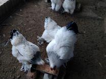 Петухи, цыплята